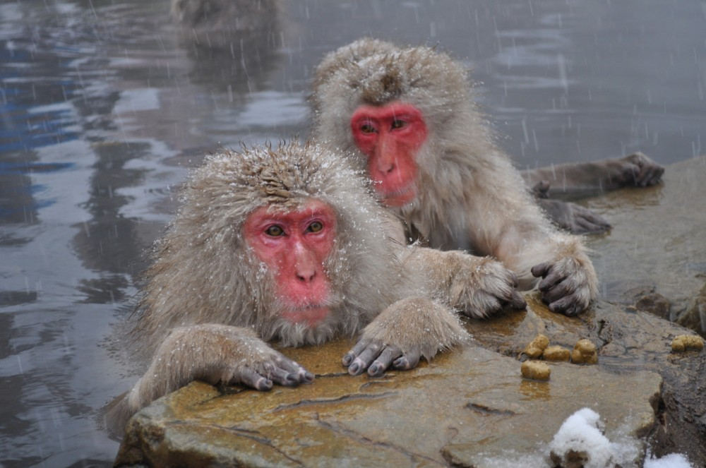 152-Snow_Monkeys_Nagano,_Japan
