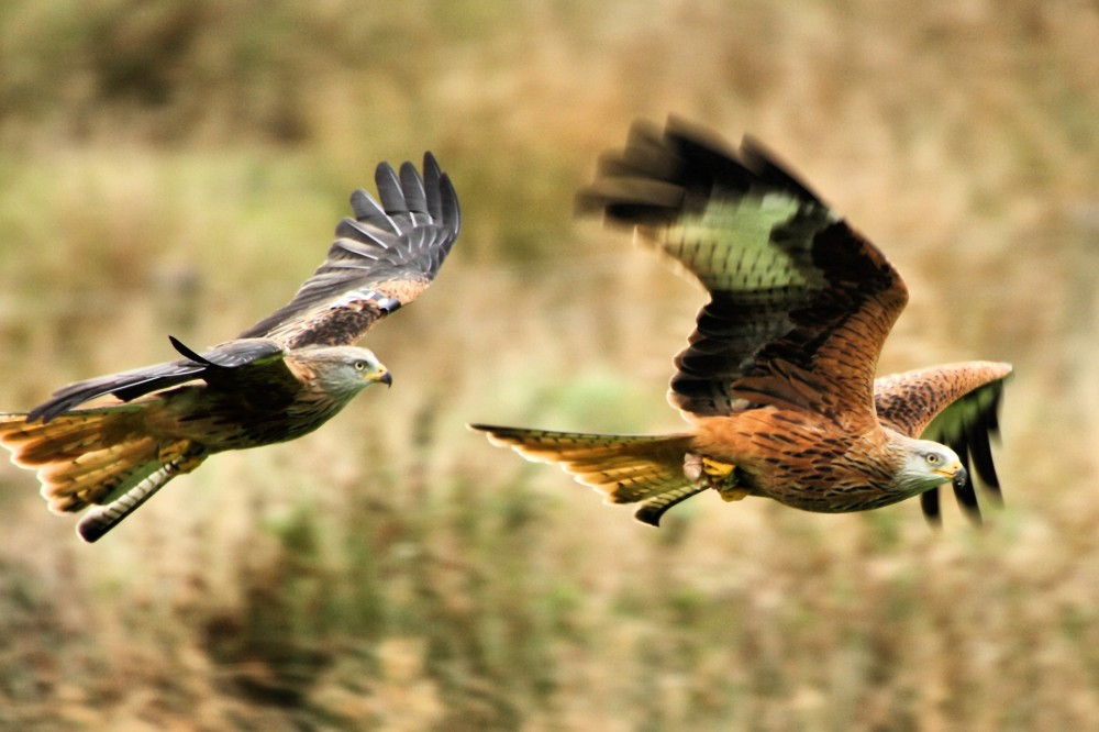 200-Red_Kites-Gigrin_Farm_Wales